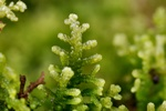 Creeping Fingerwort (Lepidozia reptans)